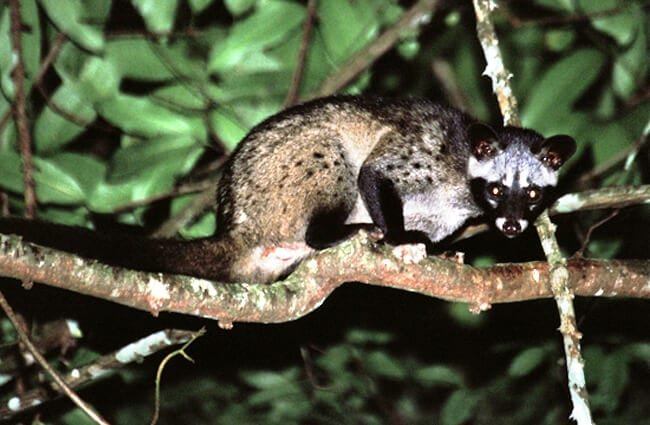 Common Palm Civet in a darkened forest Photo by: Bernard DUPONT https://creativecommons.org/licenses/by/2.0/