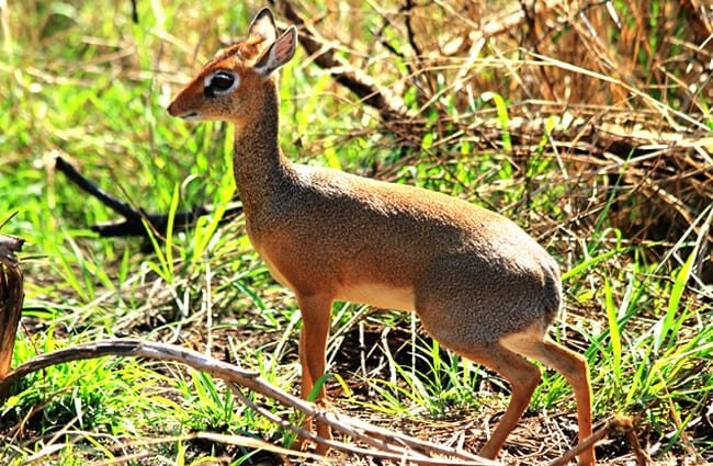 A female Dik Dik in the bush Photo by: (c) RyanFaas www.fotosearch.com
