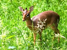 A Dik Dik standing in a fieldPhoto by: (c) dennisvdwater www.fotosearch.com