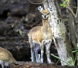 Wild Dik-Dik In The National Park Of Tsavo In Kenya Photo By: (C) Tana Www.fotosearch.com