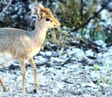 Tiny Dik Dik At The Edge Of The Bush Photo By: Chillervirus Https://pixabay.com/photos/dik-Methodology-Namibia-Etosha-1305786/