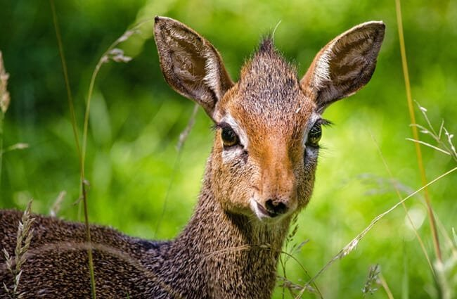 Closeup portrait of a beautiful young Dik Dik Photo by: Kevin Phillips https://pixabay.com/photos/dik-dik-antelope-zoo-animal-wild-958208/
