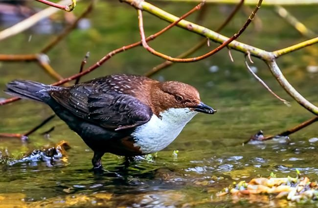 White-Throated Dipper in a stream Photo by: Andrew Wordsworth https://creativecommons.org/licenses/by/2.0/