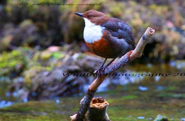 White-Throated Dipper perched above a stream Photo by: Andrew Wordsworth https://creativecommons.org/licenses/by/2.0/
