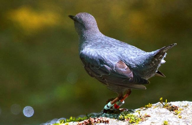 American Dipper Photo by: Bettina Arrigoni https://creativecommons.org/licenses/by/2.0/