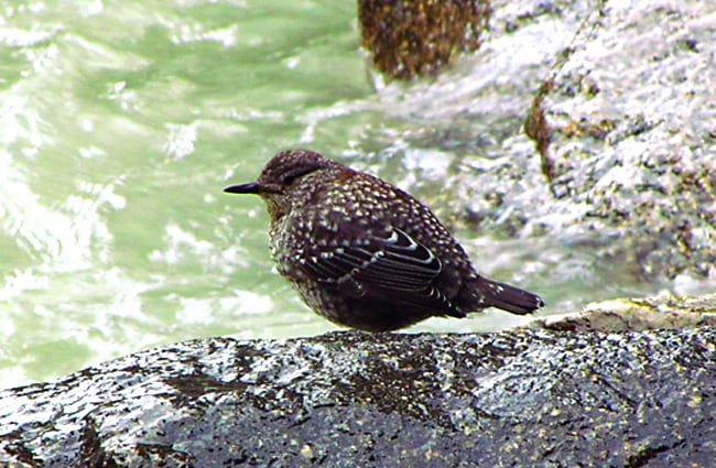Brown Dipper Photo by: Imran Shah https://creativecommons.org/licenses/by/2.0/