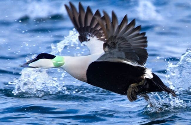 Common Eider taking flight Photo by: Ron Knight https://creativecommons.org/licenses/by/2.0/