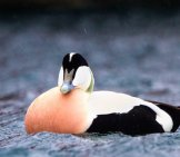 Notice The Rosy Breast Of The Common Eider Photo By: Ron Knight Https://creativecommons.org/licenses/by/2.0/