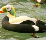 A Male Spectacled Eider Photo By: Laura L. Whitehouse: Usfws Endangered Species Https://creativecommons.org/licenses/by/2.0/