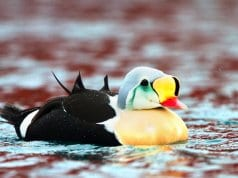King Eider - such a colorful seaduckPhoto by: Ron Knight//creativecommons.org/licenses/by/2.0/