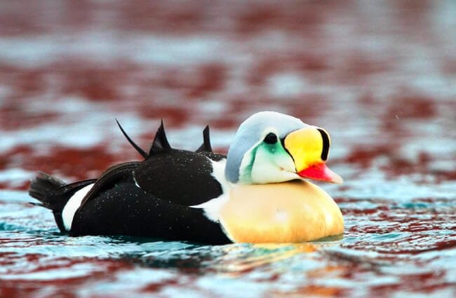 King Eider - such a colorful seaduckPhoto by: Ron Knighthttps://creativecommons.org/licenses/by/2.0/