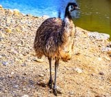 Emu Near The Water Photo By: Djedj Https://pixabay.com/photos/emu-Bird-Animal-Nature-Wild-4292658/