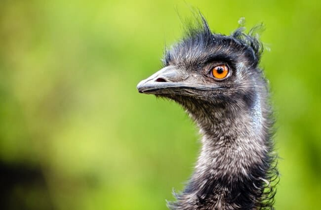 Closeup of an Emu Photo by: Mathias Appel, public domain https://creativecommons.org/licenses/by/2.0/