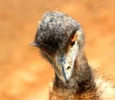 Suave Emu Photo By: Cuatrok77 Https://creativecommons.org/licenses/by/2.0/