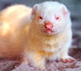 A Cute Albino Ferret Photo By: Tambako The Jaguar Https://creativecommons.org/licenses/by-Nd/2.0/