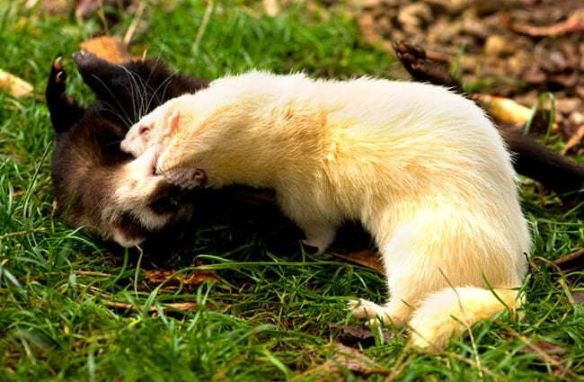 This pair of Ferrets aren't fighting Photo by: Max Moreau https://creativecommons.org/licenses/by-nd/2.0/