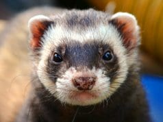Closeup of a domestic FerretPhoto by: Daniel Steinke//pixabay.com/photos/ferret-animal-eyes-close-up-361580/
