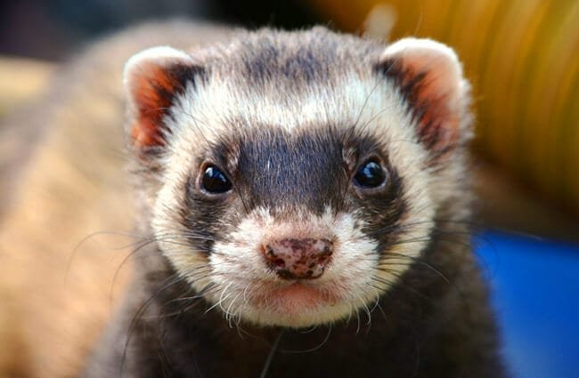 Closeup of a domestic FerretPhoto by: Daniel Steinkehttps://pixabay.com/photos/ferret-animal-eyes-close-up-361580/