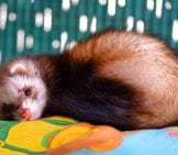 Sleepy Pet Ferret Photo By: Guillenet Https://pixabay.com/photos/huron-Hurolates-Pets-Ferrets-1120505/