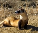 Portrait Of A Beautiful Black-Footed Ferret Photo By: Public Domain Https://pixabay.com/photos/picture-Ferret-Footed-Black-Skunks-386745/