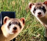 Ferret Selfie! Photo By: Skeeze Https://pixabay.com/photos/black-Footed-Ferrets-Looking-Two-967192/