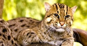 Fishing Cat lounging in the shadePhoto by: kellinahandbaskethttps://creativecommons.org/licenses/by/2.0/