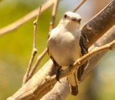 Scissor-Tailed Flycatcher Photo By: Brian Ralphs //creativecommons.org/licenses/by/2.0/
