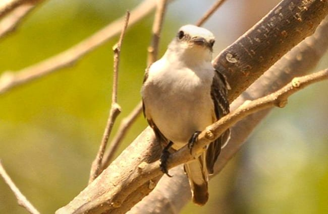 Scissor-Tailed Flycatcher Photo by: Brian Ralphs https://creativecommons.org/licenses/by/2.0/
