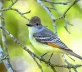 The Beautiful Ash-Throated Flycatcher Photo By: Becky Matsubara Https://creativecommons.org/licenses/by/2.0/