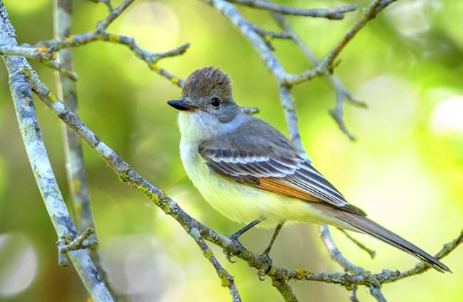 The beautiful Ash-Throated Flycatcher Photo by: Becky Matsubara //creativecommons.org/licenses/by/2.0/