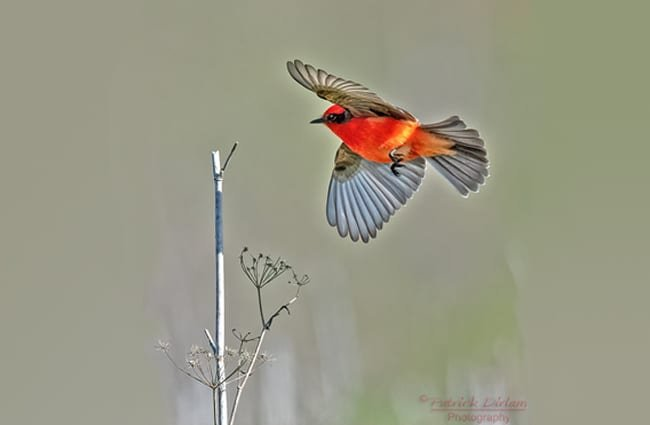 Vermillion Flycatcher Photo by: Patrick Dirlam //creativecommons.org/licenses/by/2.0/