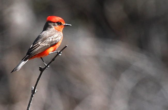 Vermilion Flycatcher Photo by: Dominic Sherony https://creativecommons.org/licenses/by/2.0/