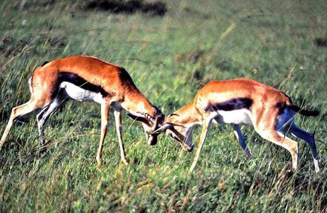 Thomson's Gazelles fighting Photo by: Bernard DUPONT https://creativecommons.org/licenses/by-sa/2.0/