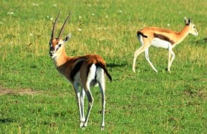 Thomson's GazellePhoto by: mtnr98https://creativecommons.org/licenses/by-sa/2.0/