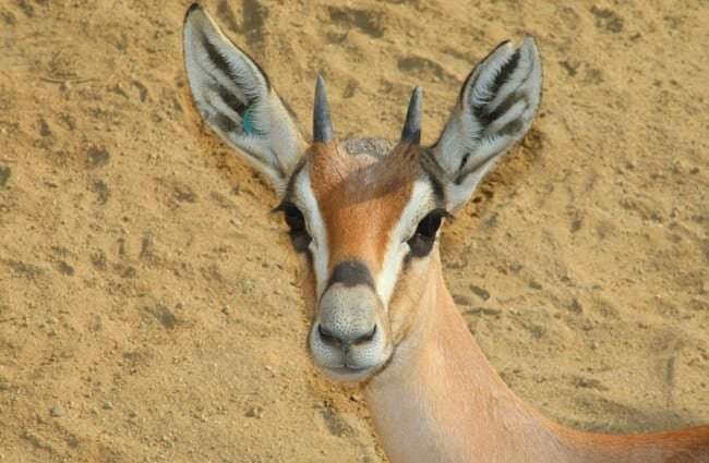 Thomson's Gazelle Photo by: Jean https://creativecommons.org/licenses/by-sa/2.0/