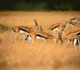 A Herd Of Thomson's Gazelle Photo By: Subharnab Majumdar Https://creativecommons.org/licenses/by-Sa/2.0/