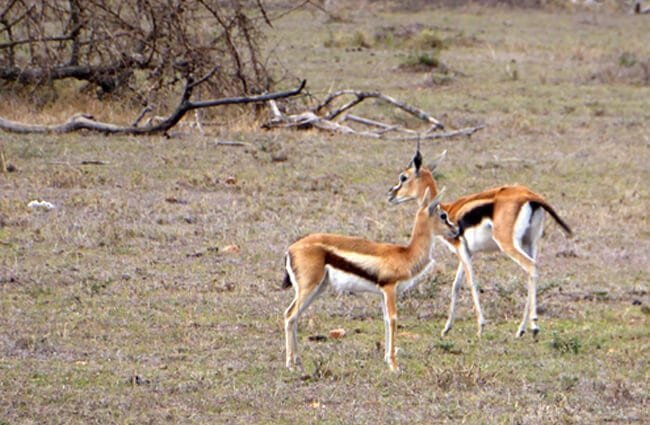 Baby Thomson's gazelles Photo by: Regina Hart https://creativecommons.org/licenses/by-sa/2.0/