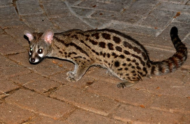 Central African Large-spotted Genet Photo by: Bernard DUPONT https://creativecommons.org/licenses/by-sa/2.0/
