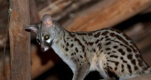 A female Common Genet in the raftersPhoto by: Frédéric SALEIN CC BY-SA 2.0 https://creativecommons.org/licenses/by-sa/2.0