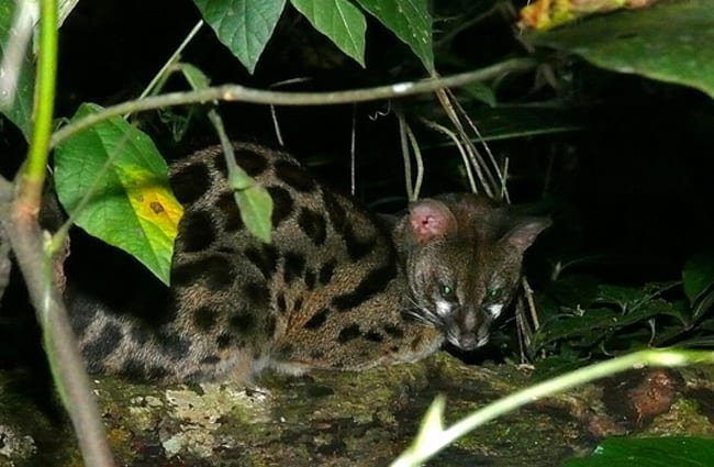 A Common Genet crouched in the foliage Photo by: Bernard DUPONT from FRANCE CC BY-SA 2.0 https://creativecommons.org/licenses/by-sa/2.0