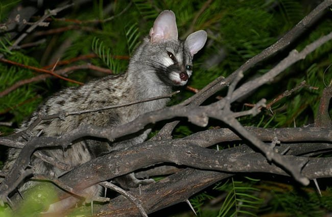 Common Genet Photo by: Bernard DUPONT from FRANCE CC BY-SA 2.0 https://creativecommons.org/licenses/by-sa/2.0