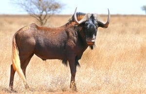 Portrait of a beautiful Black Gnu (Wildebeest) bullPhoto by: Bernard DUPONThttps://creativecommons.org/licenses/by-sa/2.0/