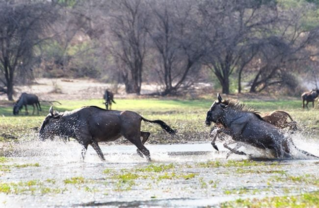 Blue Wildebeests crossing the river Photo by: Michael Jansen https://creativecommons.org/licenses/by-sa/2.0/