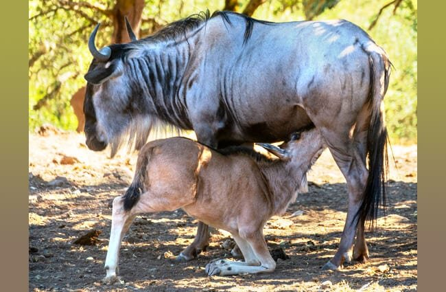 Blue Wildebeest calf nursing from his mother Photo by: Don DeBold https://creativecommons.org/licenses/by-sa/2.0/