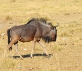 Blue Gnu Bull Browsing For Grasses Photo By: Helmut Schmitt, From Pixabay Https://pixabay.com/photos/namibia-Gnu-Nature-Africa-Tourism-3779909/