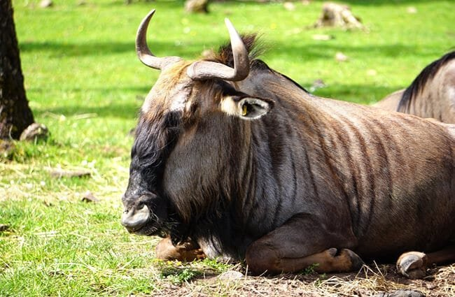 Large Black Gnu bull taking a break Photo by: A. H., from Pixabay https://pixabay.com/photos/gnu-zoo-wildlife-park-4244351/