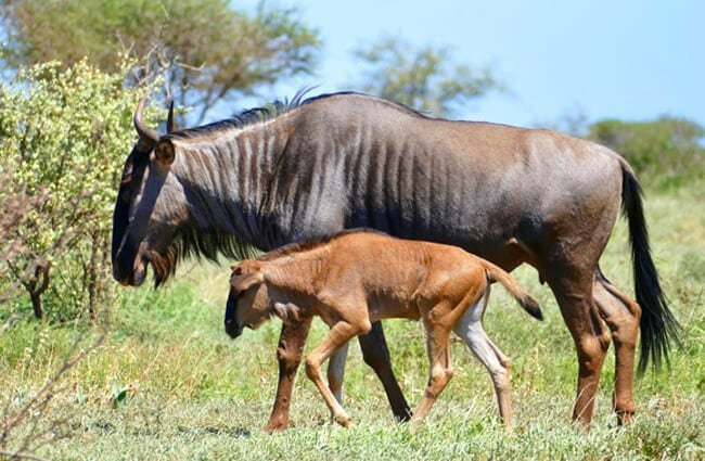 Blue Wildebeest (Gnu) mother and calf Photo by: Bernard DUPONT https://creativecommons.org/licenses/by-sa/2.0/