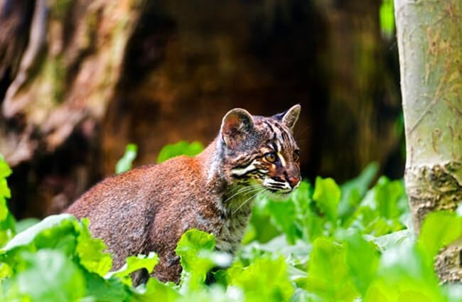 Asian Golden Cat Photo by: Tambako The Jaguar https://creativecommons.org/licenses/by-nd/2.0/