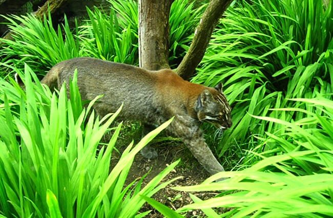 Golden Cat stalking through the undergrowth Photo by: Iain Thompson / Asiatic Golden Cat