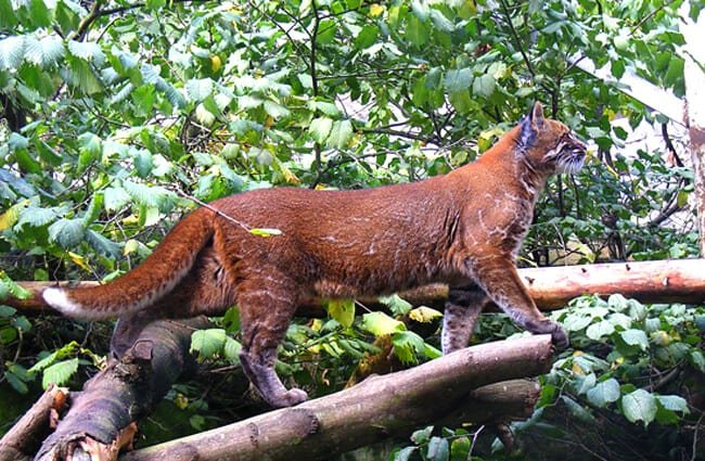 Asian Golden Cat at Edinburgh Zoo Photo by: Marie Hale CC BY 2.0 https://creativecommons.org/licenses/by/2.0